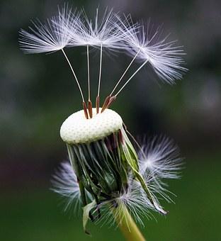 dandelion-1392492__340